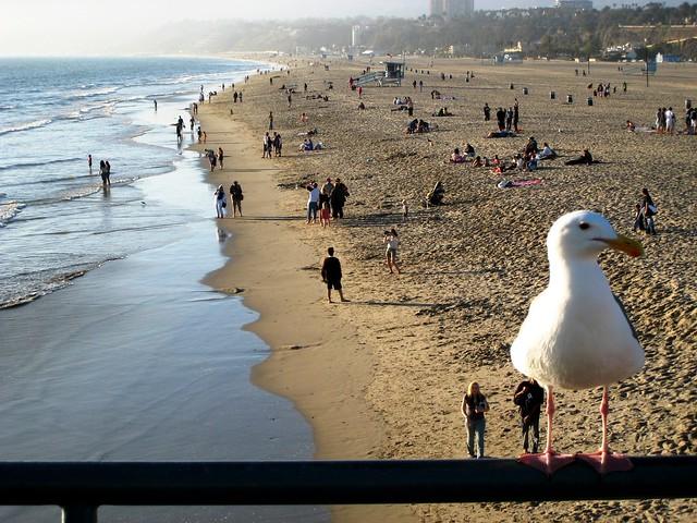 A Seagull at Santa Monica Beach.