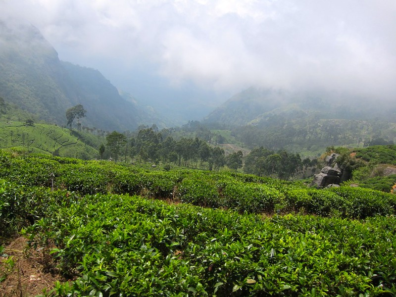 Tea Plantations, Haputale, Sri Lanka