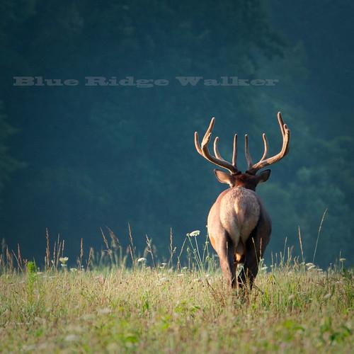 Elk(Wapiti )