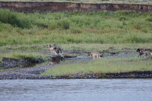 yellowstonenationalpark wolves lamarvalley