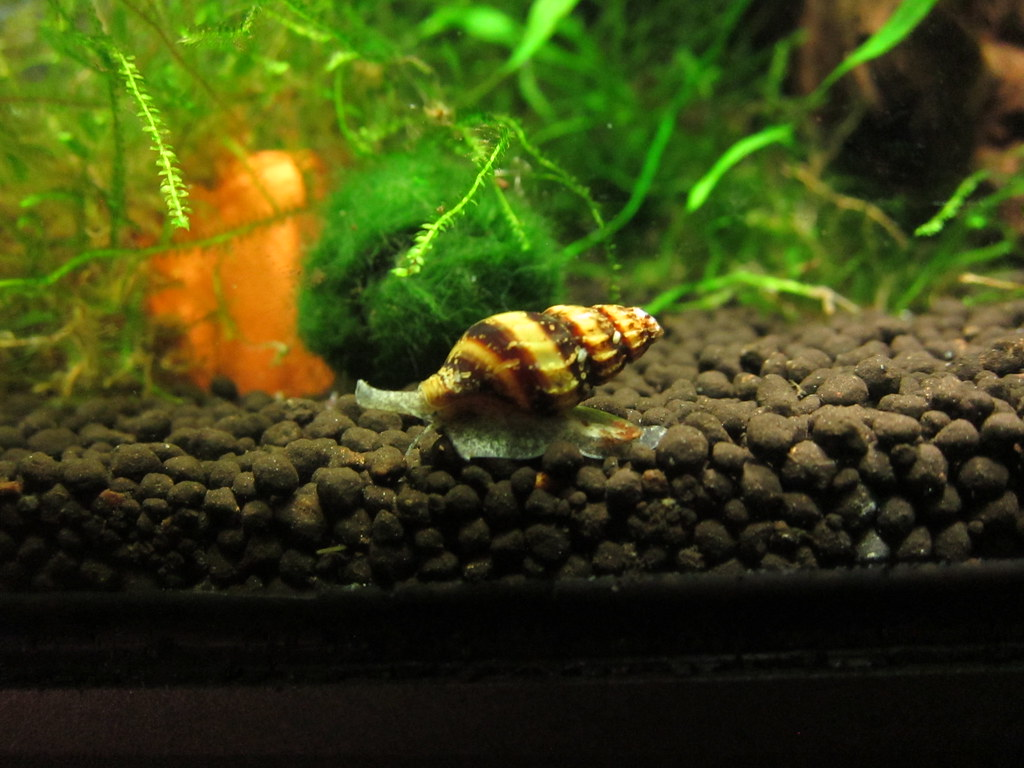 Image result for assassin snail