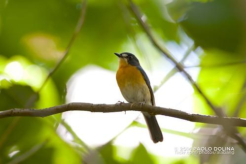 Mangrove Blue Flycatcher (Cyornis rufigastra) | by Paolo Dolina