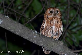 Eastern Screech Owl, Megascops asio   by ashleytisme
