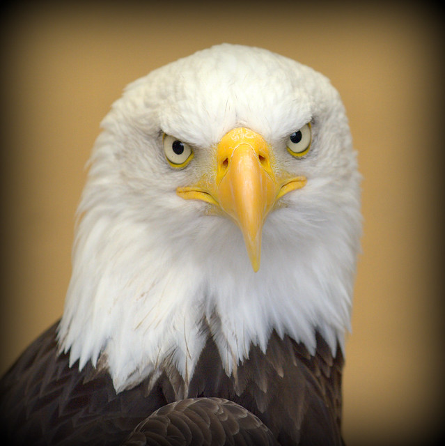 Angry Stare From A Bald Eagle