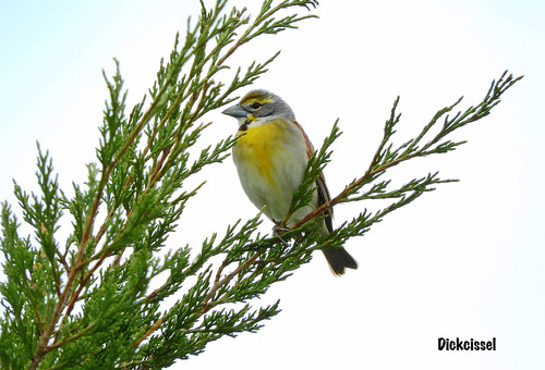 -Dickcissel-Southern NE | by Tricolor Brian