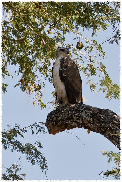 Marital Eagle
