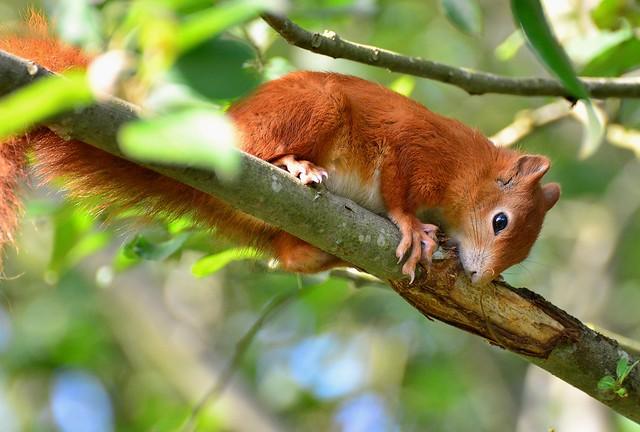 Red Squirrel - British Wildlife.