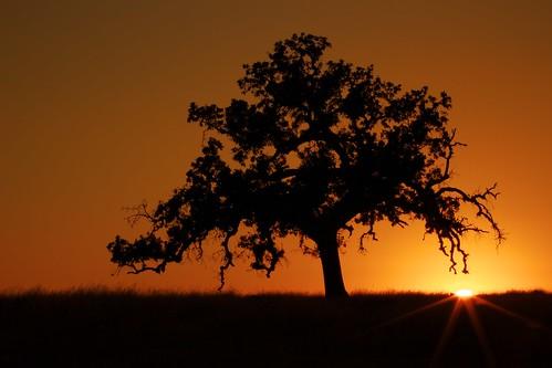 california sunset sky orange tree silhouette northerncalifornia landscape photography oak folsom sunburst prairie ernogy