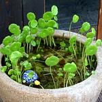 Marsh Pennywort (ウチワゼニグサ)