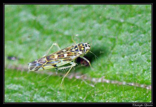 Eupteryx stachydearum/curitisii