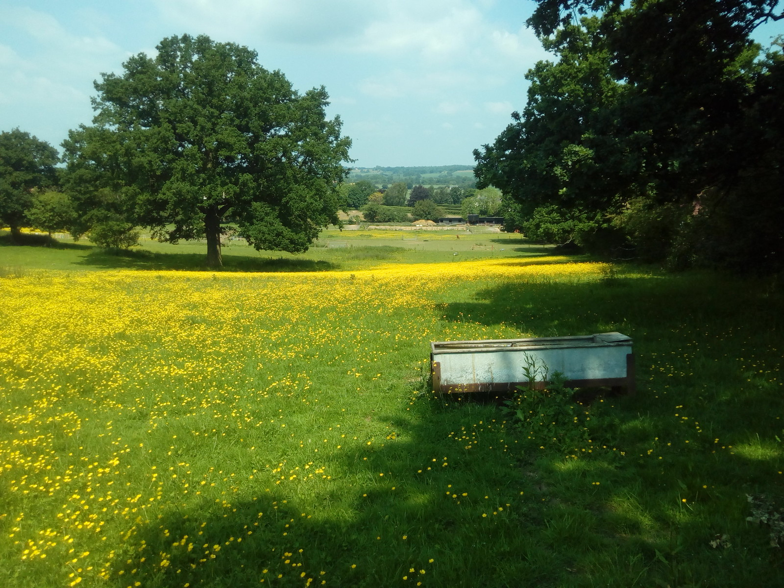 Oak, buttercups and trough Stour valley in the distance