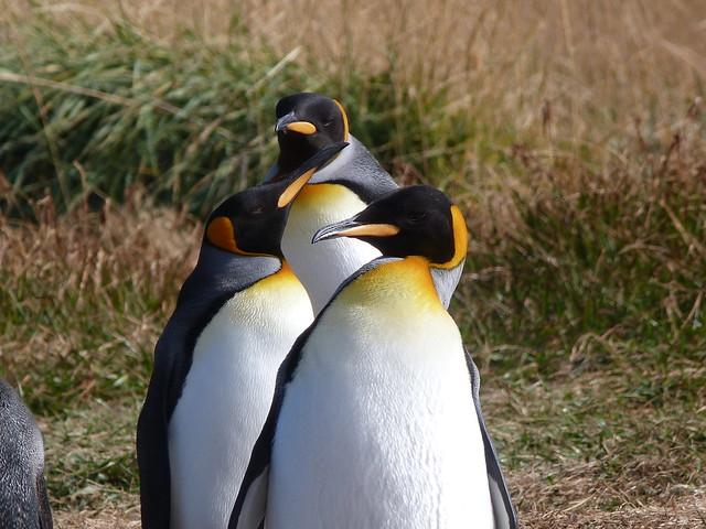 Pingüinos rey en Bahía Inútil (Patagonia chilena)