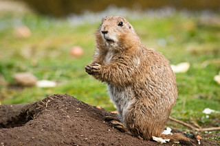 Prairie Dog | by snailsareslimy