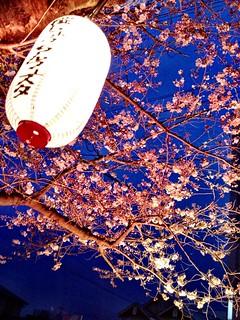 Night sakura | by kalleboo