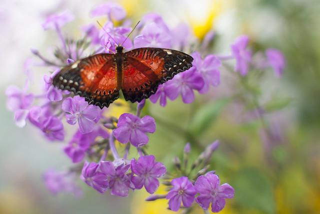 Butterfly / Vlinder