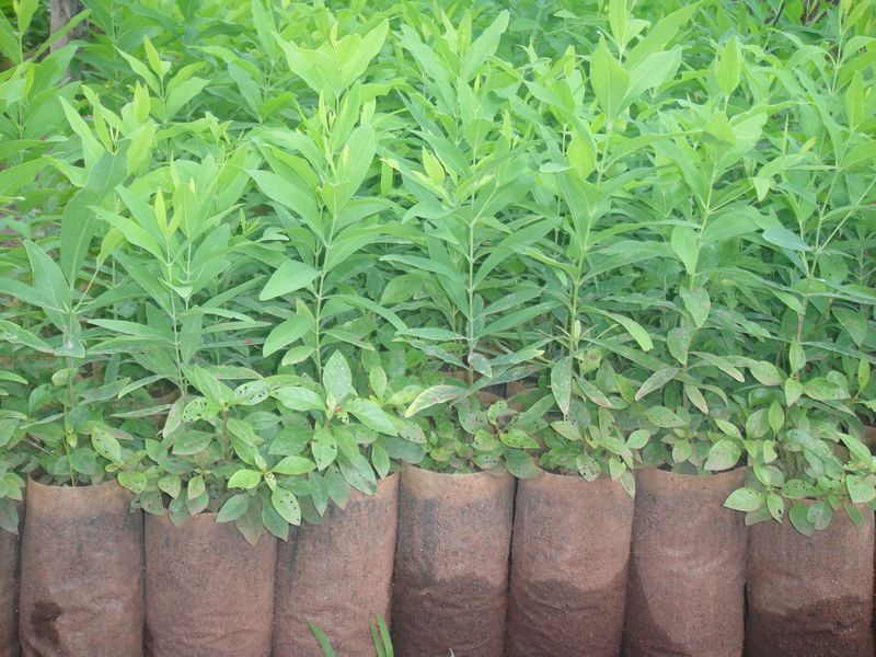 Sandalwood Saplings | Sandalwood Saplings for Plantation