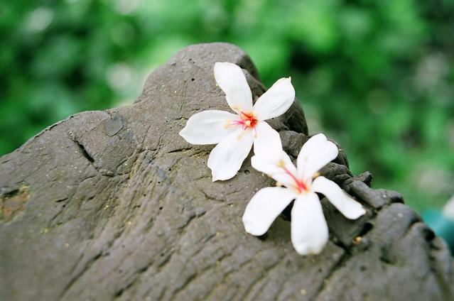 彰化福田社區油桐花 Tung flowers
