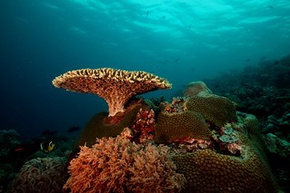 tubbataha- lighthouse- table coral in red | by q.phia