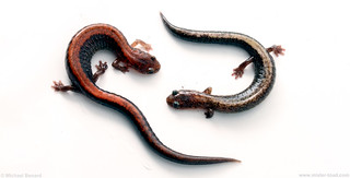 Funky & Normal Color Redback Salamanders | by Pregilla