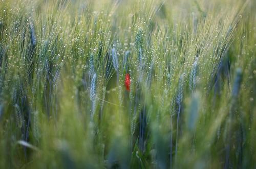onepoppy dream pentax k5 field spring 2016 green countryside lazio italy colors perspective outdoor depthoffield plant smcpentaxm50mmf17 grass poppy bokeh evening droplets wheat stefanorugolo