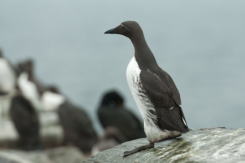Bridled Guillemot | by glidergoth