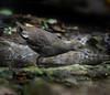 อัญชันป่าขาเทา Slaty-legged Crake by somchai@2008