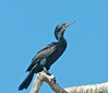 Blue eyed but hardly blond (Indian Cormorant), (Phalacrocorax fuscicollis) by Suri JV (on and off)