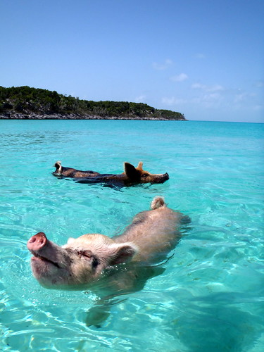 08.2012 Vorobek Bahamas - swimming pigs | by cdorobek