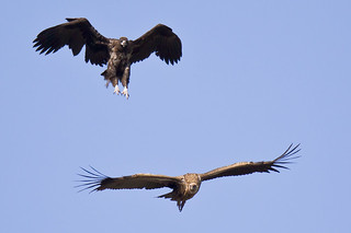 Pounce - Cinereous Vulture attacks Himalayan Griffon - Two | by Paul B Jones