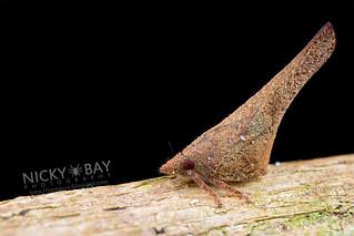 Flatid Planthopper (Flatidae) - DSC_5475