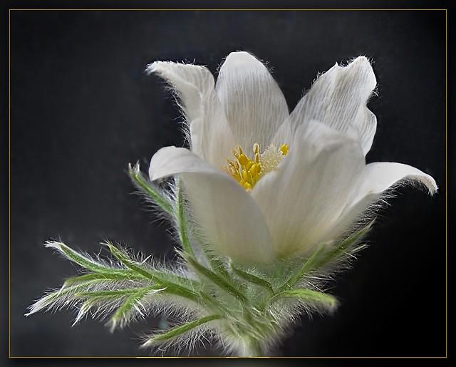 Weiße Kuhschelle, Pulsatilla vulgaris alba