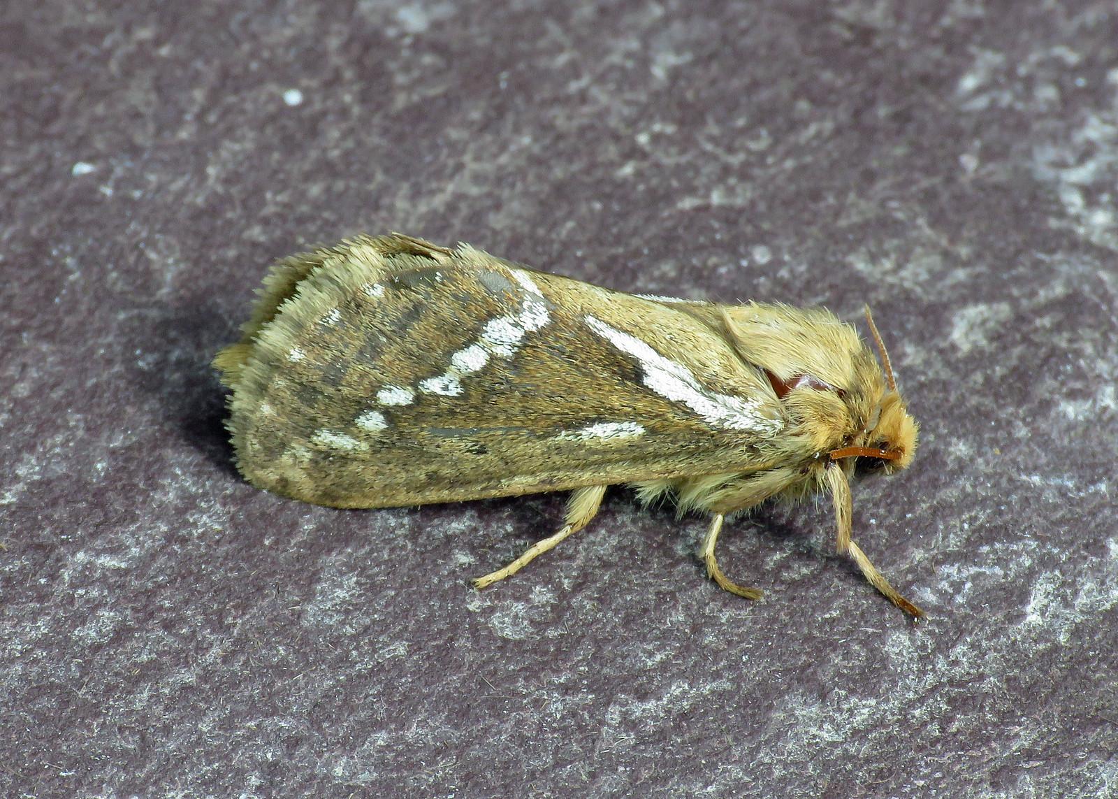 3.002 Common Swift - Korscheltellus lupulina
