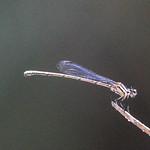 Ischnura aurora (Aurora Bluetail)