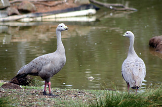 20120326_3869 Cape Barron geese | by williewonker