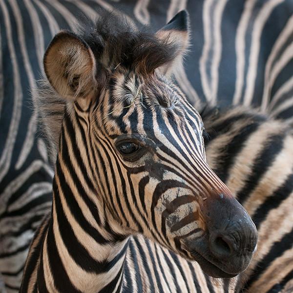 zebra on zebra