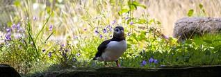 Atlantic Puffin / Papageitaucher | by Missud