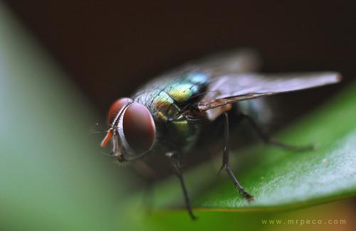 Lalat 2 | by Syafiq Abdullah