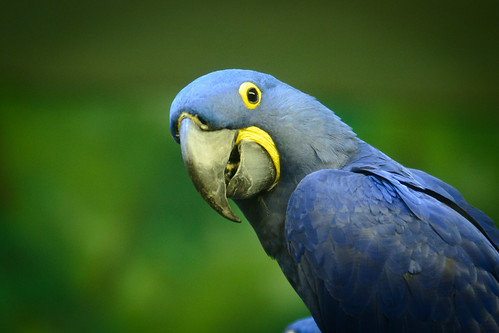 Blue Macaw | by Eric Kilby