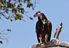 Hvidhovedet Grib - White-headed Vulture (Aegypius occipitalis) by Søren Vinding