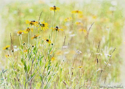 flower texture yellow newjersey bokeh processed blackeyedsusan whitelake lenebemanna