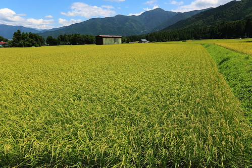 mountain nature japan landscape countryside harvest 日本 ricefield fukui 風景 福井 田んぼ 田舎 水田 お米 コシヒカリ 奥越前