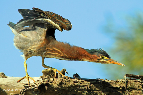 bird heron nature wings alert herons warn greenheron littlegreenheron specanimal highalert naturearttnc12