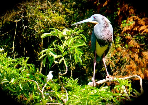 heron birds blueheron adamhall staugastine thebirdwhisperer trackhead trackheadstudios trackheadxxx