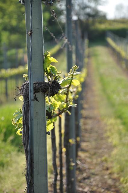 Gösing am Wagram Weinviertel Niederösterreich DSC_1533