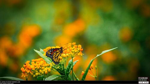 Monarch Butterfly / Mariposa Monarca