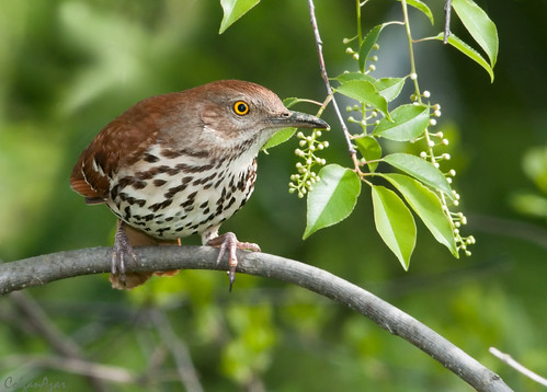 Brown Thrasher | by Kelly Colgan Azar