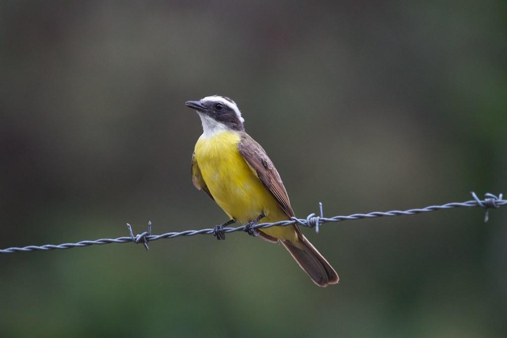 Imagen de una de las aves del Quindio: Suelda crestinegra (Myiozetetes cayanensis)
