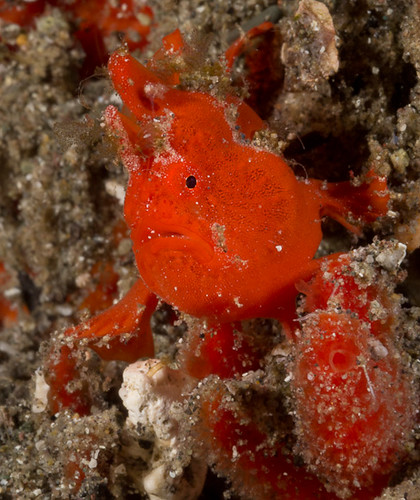 Orange Frogfish - Boulders @ Dawn - Komodo