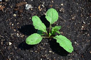6/9: radish sprout