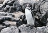 Galapagos pinguin - Manchot des Galapagos - Pingüino de las Galápagos - Spheniscus mendiculus by Rafael G. Sanchez